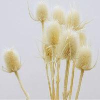 bodlák color bílá